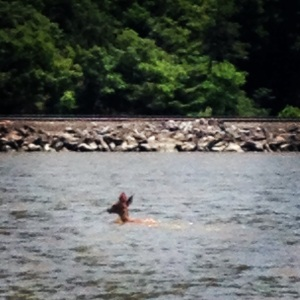 And this is a deer just casually swimming across the Hudson River.